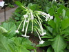 Nicotiana sylvestris. Photograph by Sandra Knapp. Copyright © by Sandra Knapp, provided under the Creative Commons licence