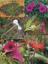 Petunia species. (A) and (B) P. altiplana; (C) P. axillaris; (D) P. bajeensis; (E) P. bonjardinensis; (F) P. exserta. published in the monograph 'Petunia, evolutionary,  developmental and physiological genetics, Springer verlag, second ed,  Gerats and Strommer (Eds), Chapter 1.  Reproduction with permission from Springer.