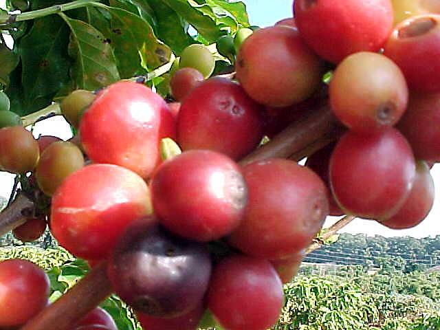 Coffea arabica cultivars exhibiting red fruits