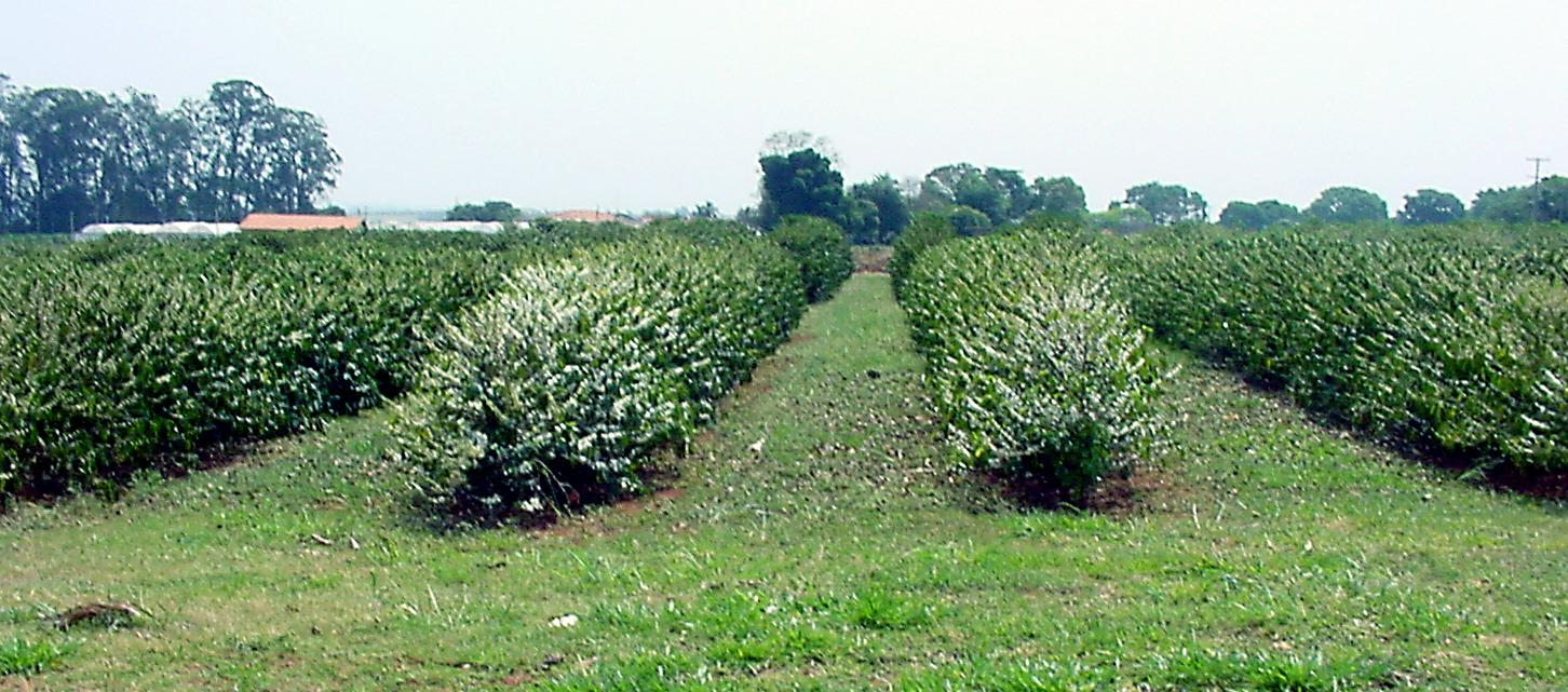 IAC Coffee cultivars planted at the Experimental Station